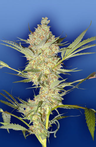 The Real McCoy [REG] by Flying Dutchmen Seeds