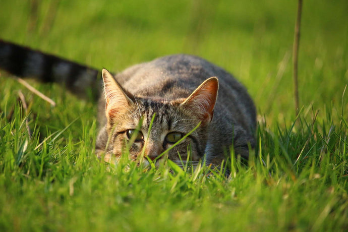 Feline Immune System - How It Works and Tips to Boost Your Cat's Immunity