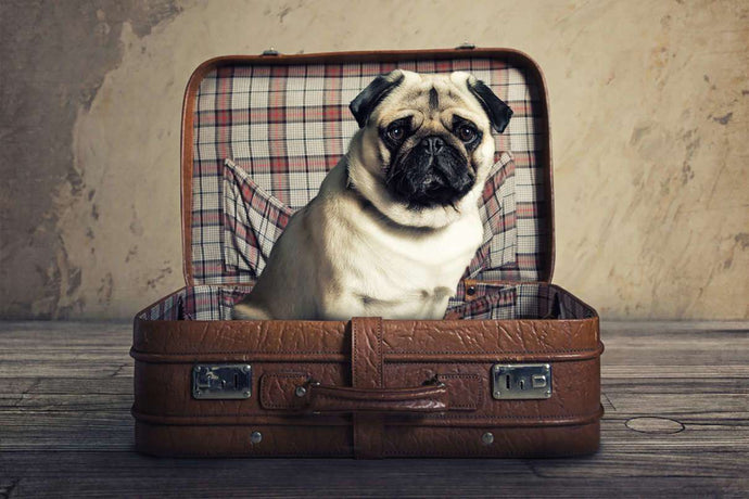 No More Cargo: Dogs Flying First Class in Record Numbers