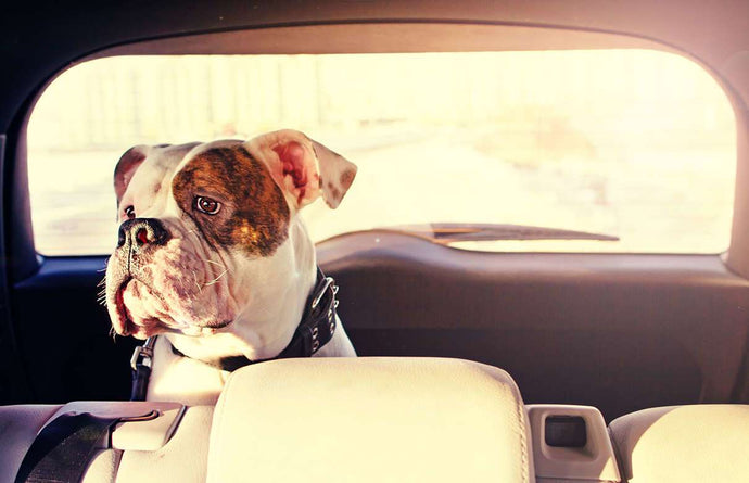 Best Devices for Pets in the Car
