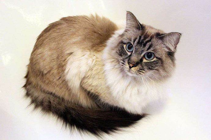 Ragdolls 101: Meet this Lovable Cat Breed