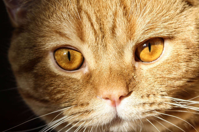 How to Keep Your Cat Away From Ear Mites?