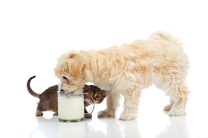 What About Lactose Intolerance in Dogs and Cats