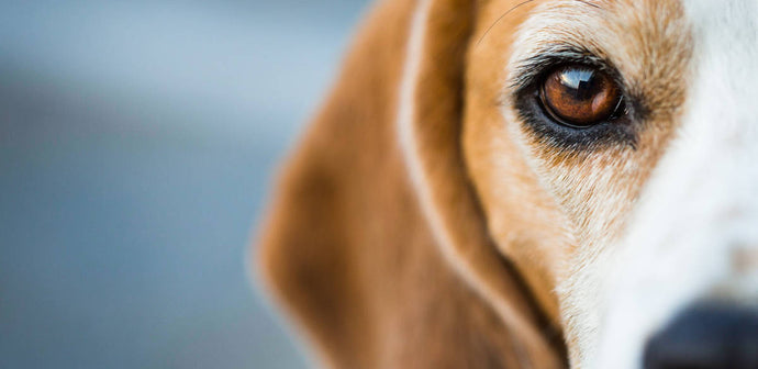 Did You Know Dogs Have Three Eyelids?