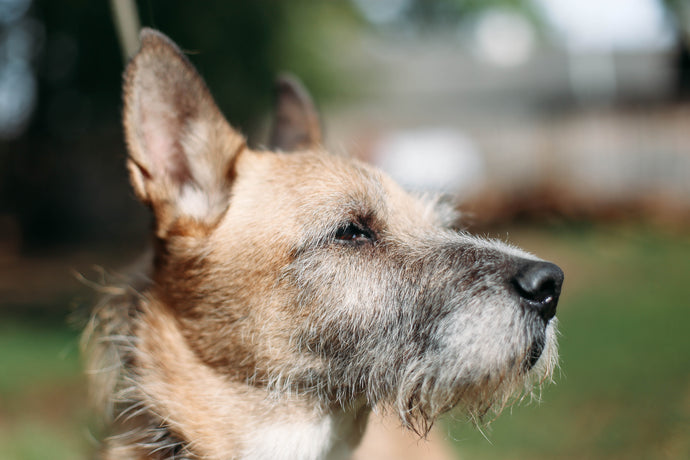 Teach Your Old Dog New Tricks - Tips To Train Your Senior Dog