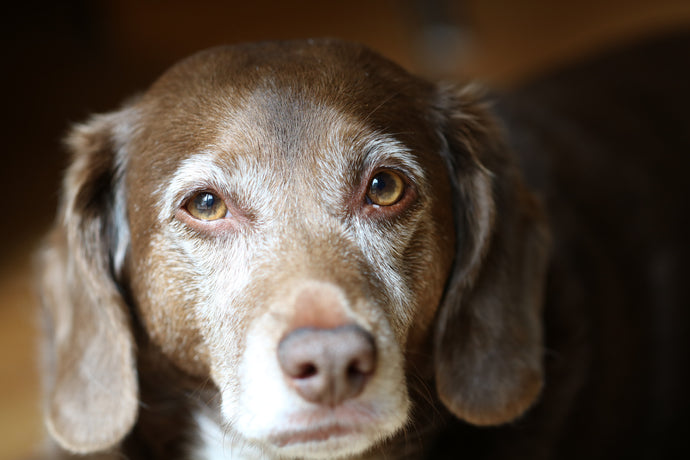 Dogs and Dementia - What We Need to Know