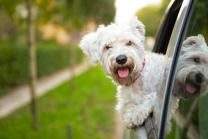 What You Need To Know About Dogs And Motion Sickness, Part Two
