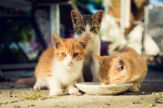 Understanding Cat Colonies And How You Can Help