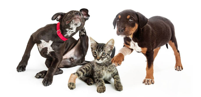 Fast Facts and Stats About Fleas and Our Pets