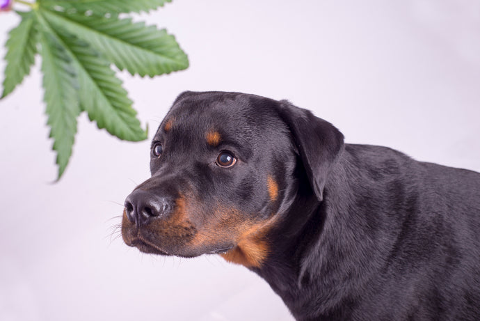 Dogs And CBD Products: Here's What We Know So Far