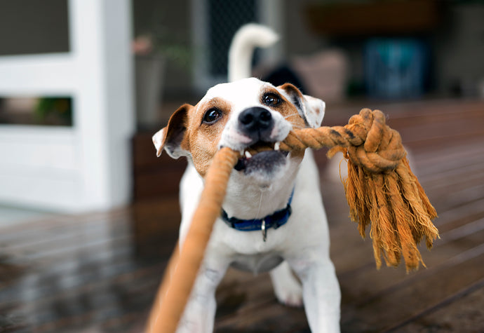 How Playtime Shapes a Dog's Life