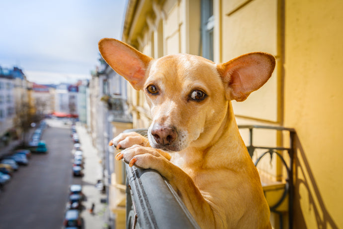 Dog Breeds That Are Perfect for Apartment Living