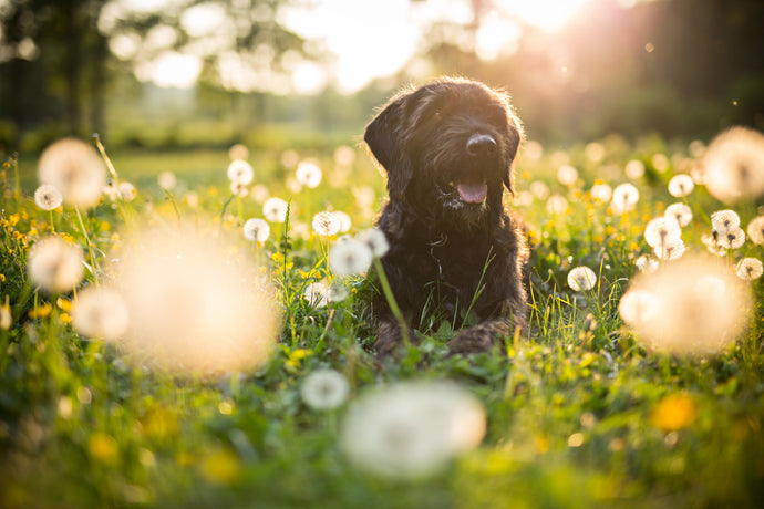 The Dog Days of Summer - Watch Out for These Common Canine Challenges