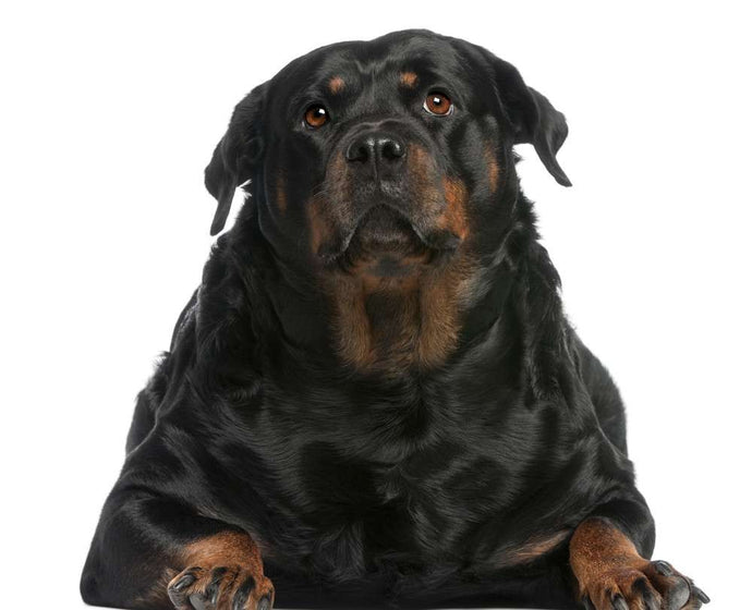Would You Watch a Reality Show About Overweight Pets?