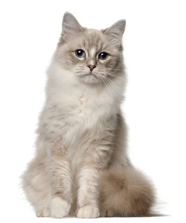 11612394 - ragdoll cat, 1 year old, sitting in front of white background