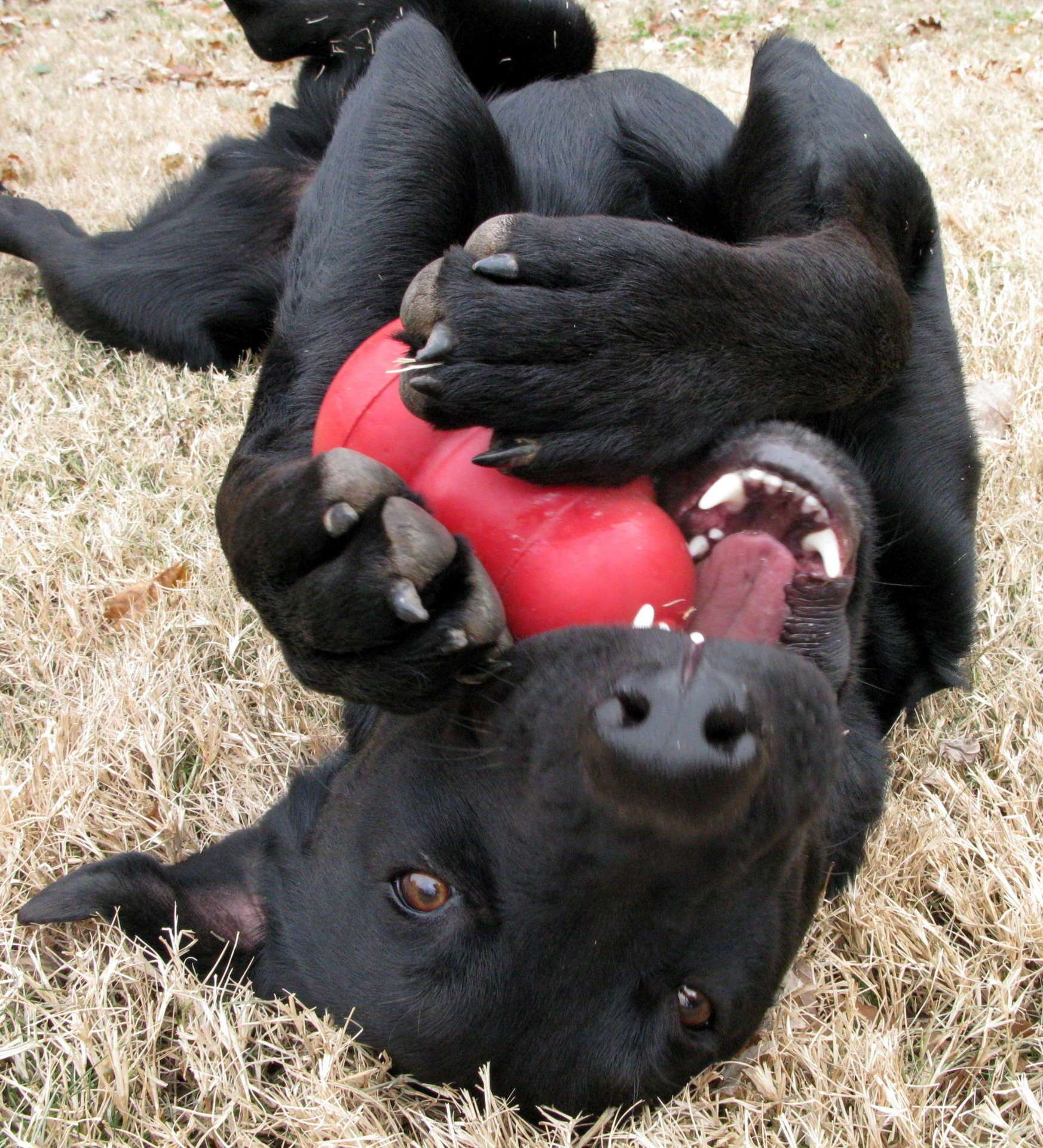 A Kong toy is an acceptable and durable chew toy. Photo: OakleyOriginals