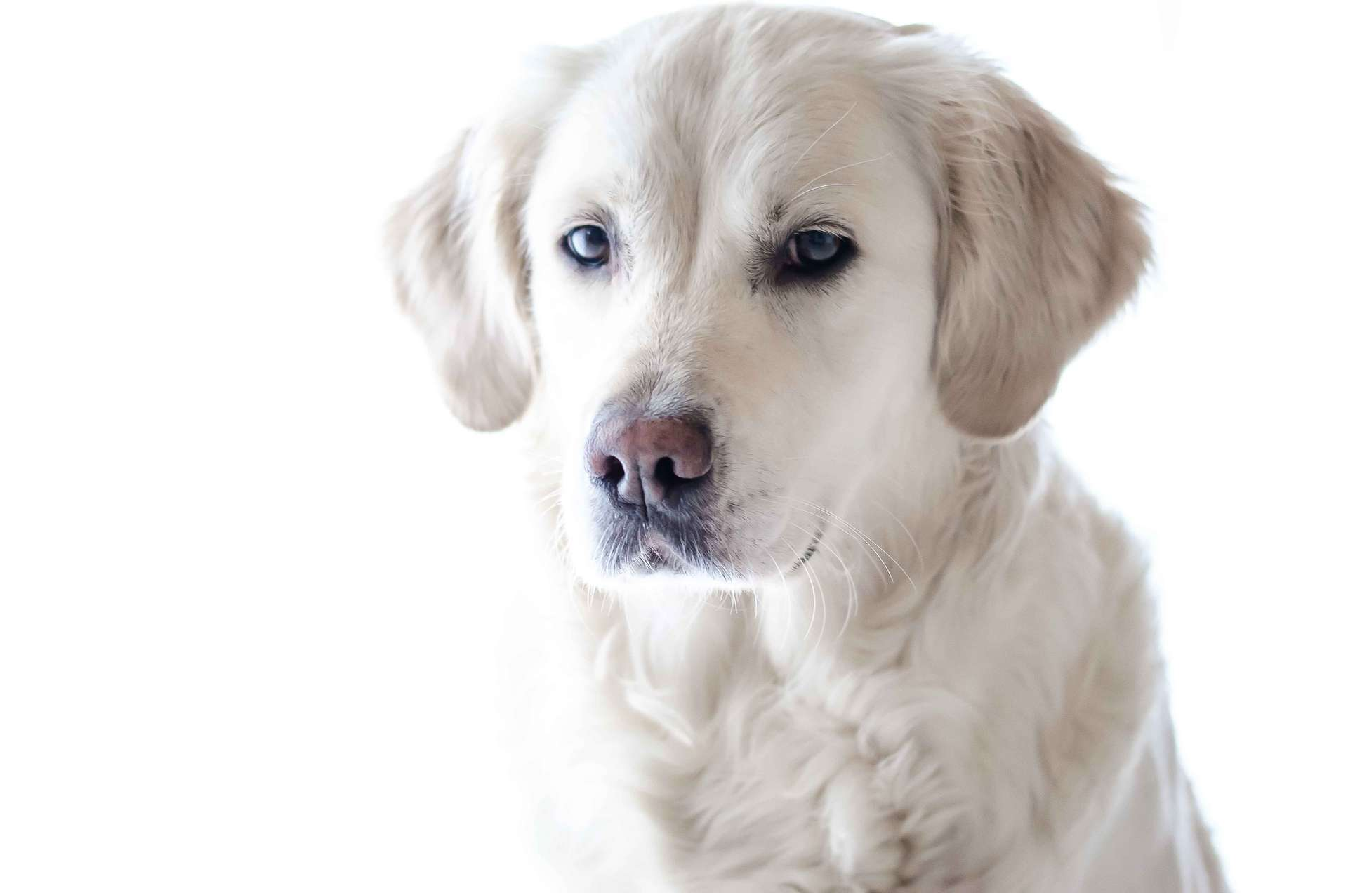 Labrador retrievers may be predisposed to having allergies, while poodles and terriers almost never get them.
