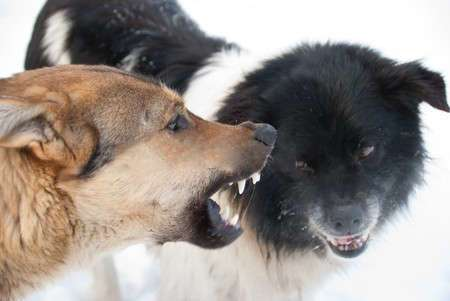 4474177-two-dogs-grin-against-each-other