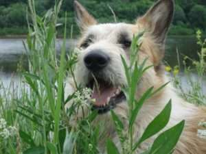 Your dog might just like the taste or texture of chewing grass, just like people chew gum.
