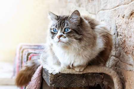58304473 - ragdoll cat resting during the day