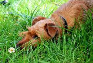 Fiber from grasses helps to cleanse the digestive tract of intestinal parasites.
