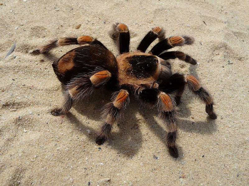 Mexican Red-kneed Tarantula, Mexican Red-kneed birdeater