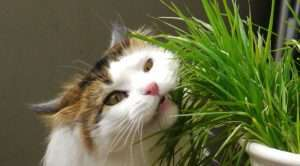 Cats may eat grass to help get rid of hairballs. Image by Lisa Sympson