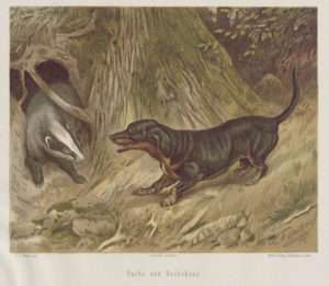 "Color lithograph of a Dachshund confronting a badger from 1875 (Dachshund is German for ""badger-dog"")"