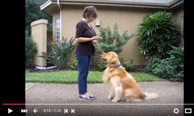 Lillian Sikorski of www.SpeakDog.net showing 2 beautifully trained goldens.
