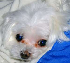Maltese with tear stain, dog eye stain