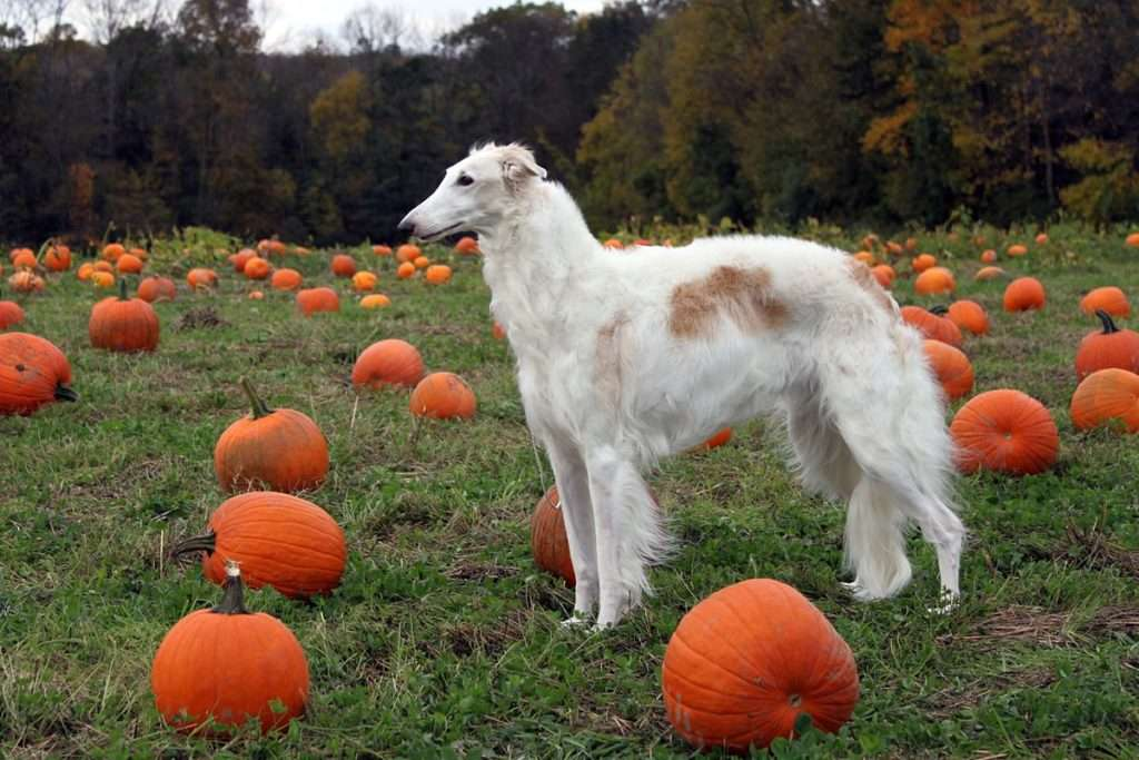 She_was_Miss_October_for_a_dog_calendar_---_Solara_was_SURE_she_would_see_the_Great_Pumpkin!_(6262450096)
