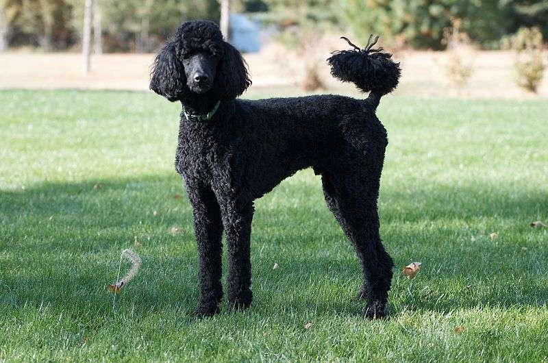 Standard Poodles are at risk for Addison's Disease  full attention  by tim wilson  from blaine  mn usa  licensed under cc via commons