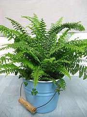 Nephrolepis exaltata Common name: Boston Fern. Photo by bfishadow.