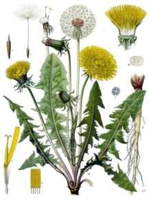 dandelion (image from Wikipedia)