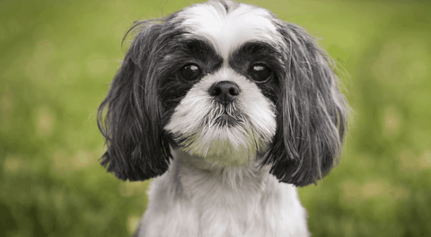 how to clean shih tzu ears