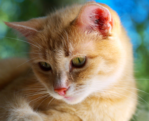Orange Cats Of The World - Unite! For Ginger Cat Appreciation Day | Vet Organics
