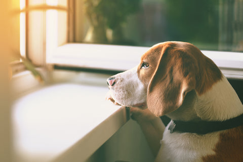 What to Know About Separation Anxiety and Dogs | Vet Organics