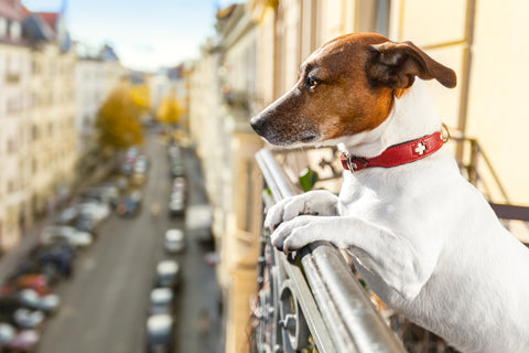 Dog Breeds That Are Perfect for Apartment Living | Vet Organics