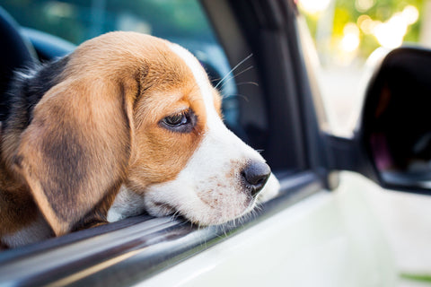 Dogs And Motion Sickness, Part Three | Vet Organics