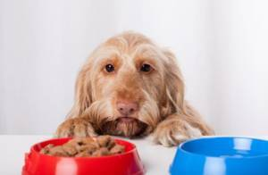 Food allergies and our dogs