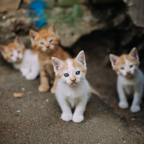 What To Do With a Stray Kitten | Vet Organics
