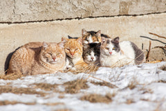 Understanding Cat Colonies And How You Can Help | Vet Organics