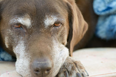 Teach Your Old Dog New Tricks - Tips To Train Your Senior Dog | Vet Organics