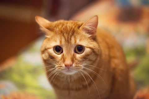 Are You Stressing Your Cat Out? | Vet Organics