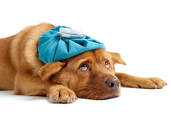 What You Need To Know About Dogs And Immunity