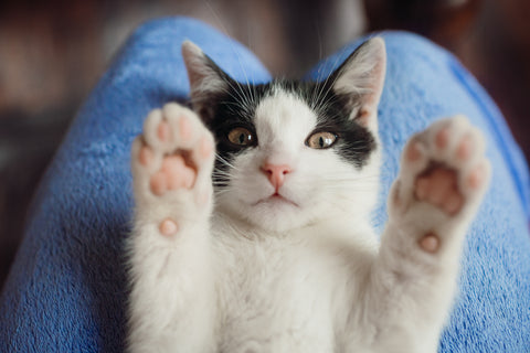 How Playtime Shapes a Cat's Life | Vet Organics