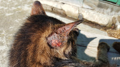 A Guardian's Guide to Dermatophytosis (Ringworm) | Vet Organics