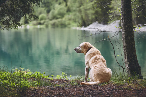 Dogs and Dementia - What We Need to Know | Vet Organics