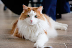 Cat Training - Basic Commands to Make Life With Your Cat Easier, Part-Two | Vet Organics