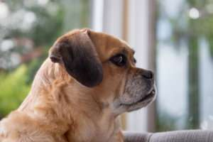 Puggle-Jake-Specially-Abled Dogs and Cats